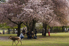 Deer in Nara City Park Stock Photos