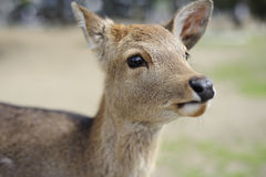 Deer at Nara, Japan. Cute deer found in the City of Nara in Japan Royalty Free Stock Photo