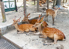 Deer in   Nara, Japan Stock Photography