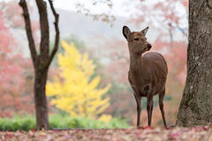 Deer in Nara, Japan. Autumn seasaon Royalty Free Stock Photos