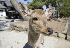 Deer in Nara, Japan Stock Photos