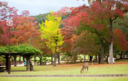 Deer in Nara, Japan, at fall Royalty Free Stock Photo