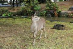 Deer in Nara, Japan, at fall stock image
