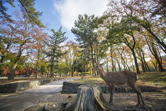 Deer in Nara, Japan, at fall Stock Photography