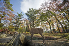 Deer in Nara, Japan, at fall Royalty Free Stock Image