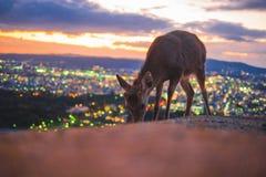 Deer in Nara, Japan, at night royalty free stock photography