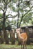 Deer in Nara, japan royalty free stock image