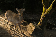 Deer in Nara Royalty Free Stock Photos