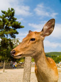 Deer in Nara Park, Japan Stock Image