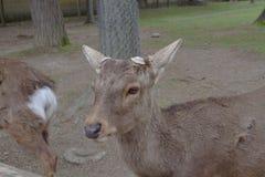 the Deer in Nara Park, nara Japan stock photo
