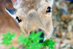 Deer in Nara Park (Japan) Royalty Free Stock Image