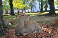 Deer in Nara park japan Royalty Free Stock Photo