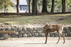 Deer in Nara Park Royalty Free Stock Photo