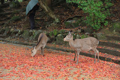 Deer at nara park Royalty Free Stock Images