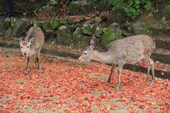 Deer at nara park Royalty Free Stock Photos