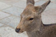 Deer in Nara Park, Japan Stock Images