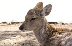Deer at Nara Park. Deer in Nara Park of Japan. Deers are considered sacred in Japan and roam wildly in Nara Park Stock Photos