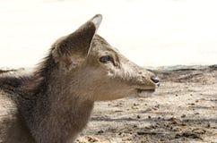 Deer at Nara Park Stock Images