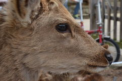 Deer at Nara Park Japan. Deer in this park, friendly people. You can buy food for deer, which are sold in the garden royalty free stock photography