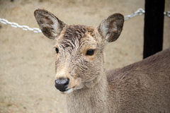 Deer at NARA Park, Japan. The lovely deer at Nara Park, Japan stock photos
