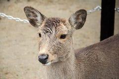 Deer at NARA Park, Japan Stock Photos