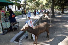 Deer in Nara Park Stock Photos