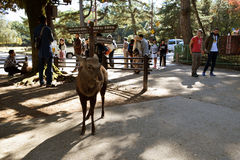 Deer in Nara Park Royalty Free Stock Photography