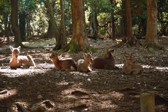 Deer in Nara Park Royalty Free Stock Image