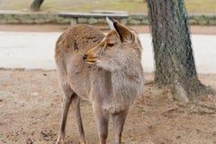 Deer in Nara Park, Japan Royalty Free Stock Image