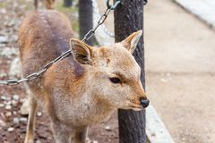 Deer in Nara Park, Japan Stock Images