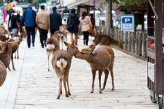Deer in Nara Park, Japan Royalty Free Stock Photo