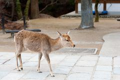 Deer in Nara Park, Japan Royalty Free Stock Image