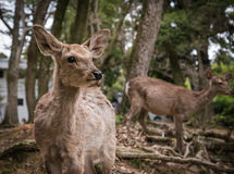 Deer of Nara. Deer of Nara Park: Nara Koen, is a large park in central Nara. The park is a home to hundreds of freely roaming deer which are considered to be Stock Photos