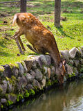 Deer @ Nara Park, Nara, Japan. Thirsty deer having a cool drink at Nara Park on an Autumn day Royalty Free Stock Photo