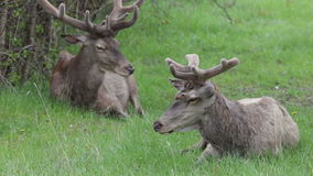 Deer in the National Park of Abruzzo in Italy stock video footage