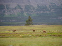 Deer in National Park. Deer in Banff National Park royalty free stock photos