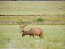 Deer in National Park. Deer in Banff National Park Royalty Free Stock Images