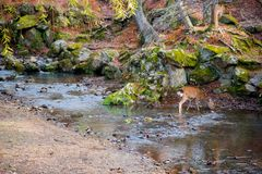 Deer National Park in Kofuku-ji, Nara, Japan. It is popular about you can feed rice crackers to wild deers.The world is big enough. Deer National Park in Kofuku royalty free stock photo