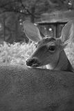 Deer in natualeza black and white. Deer quiet gaze across front Royalty Free Stock Photo