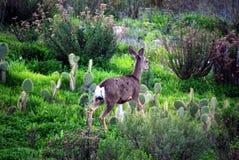Deer in natural habitat. Deer captured in it's own wild-life, natural habitat Royalty Free Stock Image