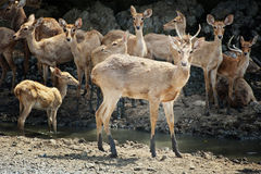 Deer in the nature Stock Image