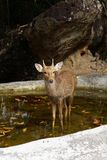 Deer in nature Royalty Free Stock Photography