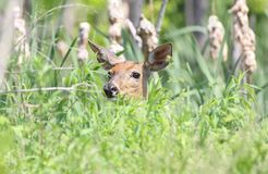 Face of deer in nature Stock Photo
