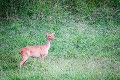 Deer. In the nature in thailand Stock Photos
