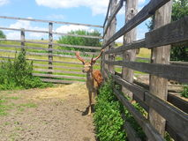 Deer near the fence and shrubs Royalty Free Stock Image