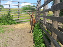 Deer near the fence Royalty Free Stock Photo