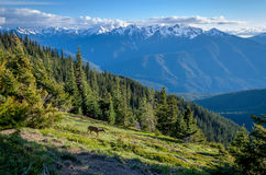 Deer near Hurricane Ridge, Olympic National Park Stock Photography