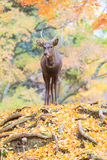 Deer near Todaiji temple in Nara. Deer near Todaiji temple in Nara, Japan Stock Image