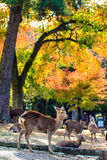 Deer near Todaiji temple in Nara, Japan. For adv or others purpose use Stock Photos