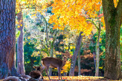 Deer near Todaiji temple in Nara, Japan. For adv or others purpose use Stock Photo